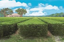 Visit the Charleston Tea Plantation